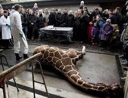 marius, cucciolo di giraffa barbaramente ucciso