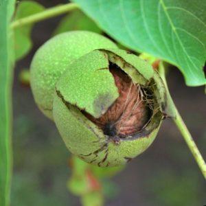 Walnuts (noci)