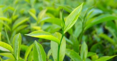 Tea Tree Oil: proprietà e benefici