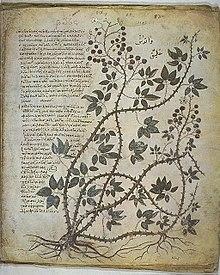 Dioscorides Plant