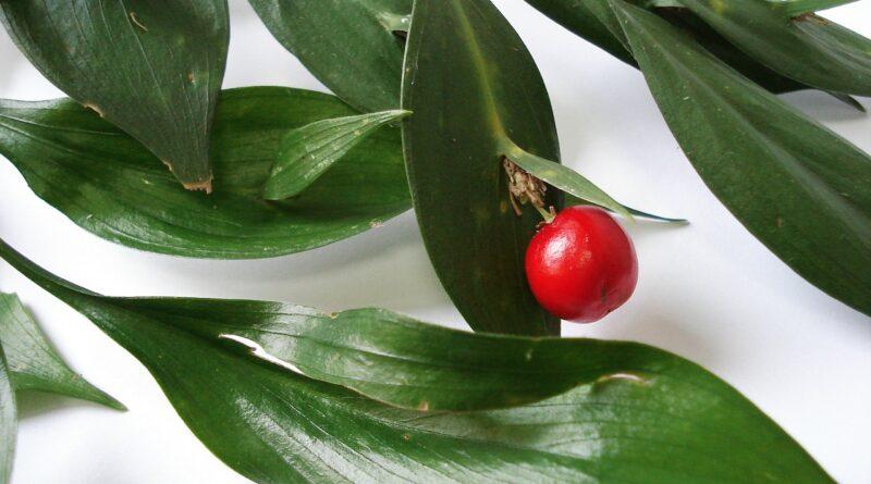 Ruscus Aculeatus (Il pungitopo)